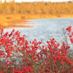 Red berries by water's edge
